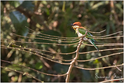 Chestnut-headed Bee-eater drying its feathers after a quick afternoon shower