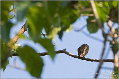 """There! a tiny creature sitting far far farrrr away.. observing others on that little tree branch """"Collared owlet"""".. Times like these, I wish I owned Canon 800mm !"""