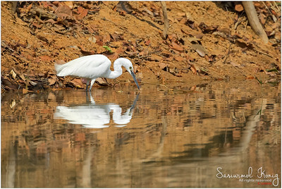 Narcissus staring at his reflection.. wait that's Little Egret