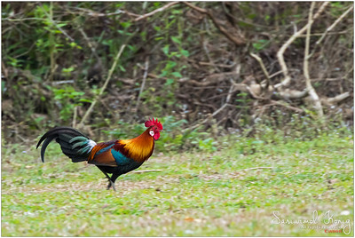 Red Jungle fowl.. he was running toward us quite fast (before I even set up my camera LOL) and then flew above us then disappeared in the forest!!