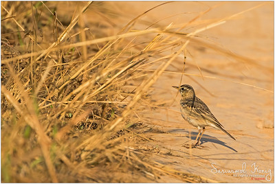 Richard's Pipit.. this cute little one can jump really fast