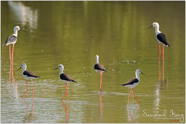 A flock of Black winged Stilts with lovely long pink legs