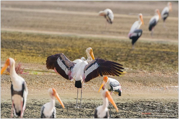 Painted stork spreading wings.. nice white plumage with pink tinge