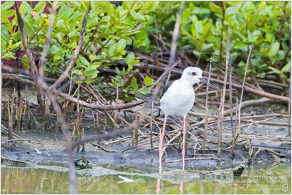 Black winged Stilts with long pink legs