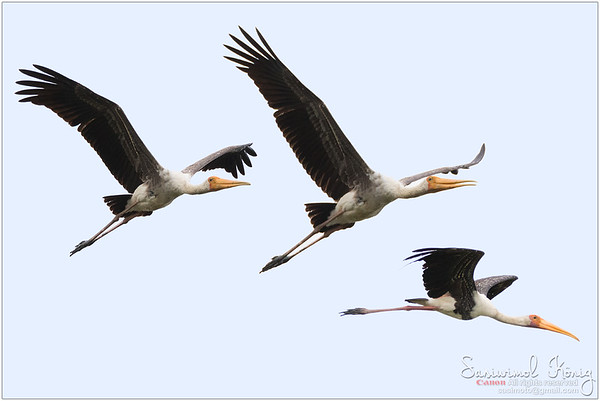 Painted Stork in flight, showing underwing lining
