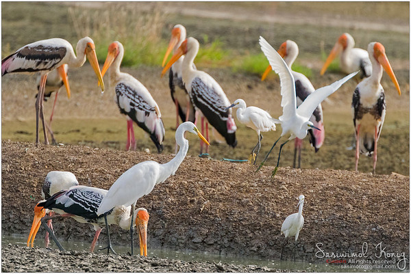 Painted storks foraging for fish in water. Leaving bills partially open and wait to snap up their preys