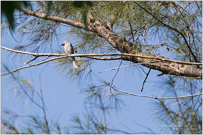 Ashy Drongo resting up there