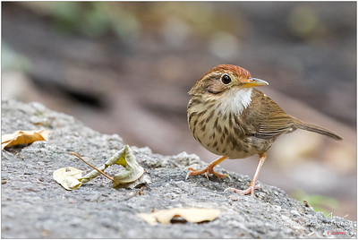 Puff-throated spotted Babbler