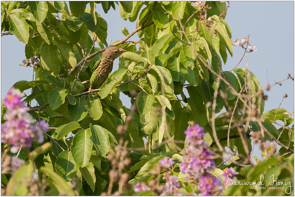 Lineated Barbet on Tabebuia