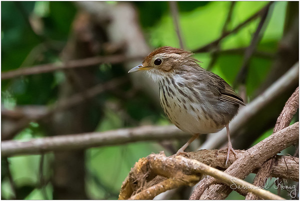 Puff-throated spotted Babbler bird