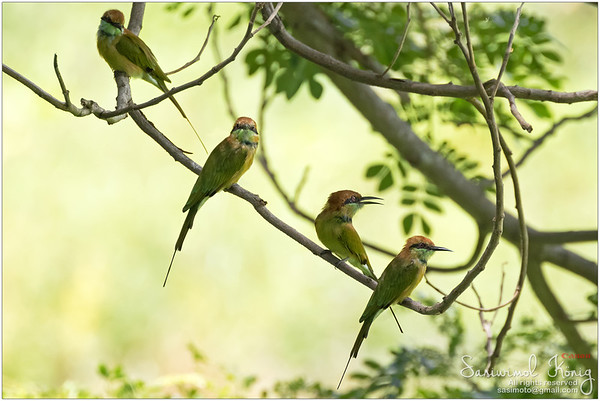 Green Bee-eater birds