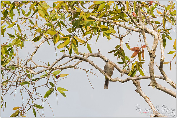 Yellow-vented Bulbul with a black eye mask