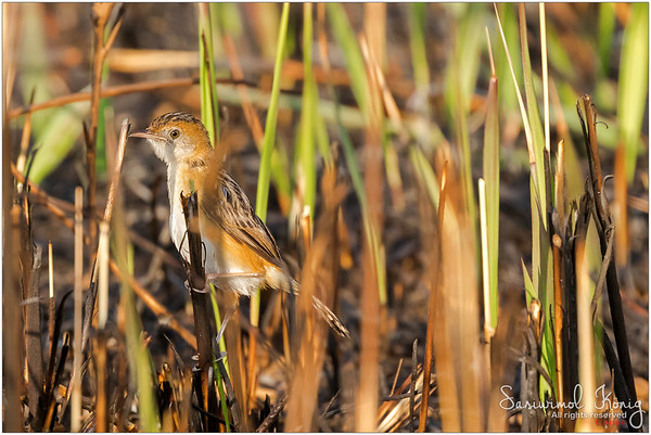 Bright-capped Cisticola perching on prescribed burnt grass