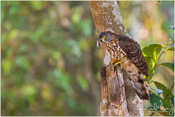 Large Hawk Cuckoo with its Appetizer.. Guten Appetit!!