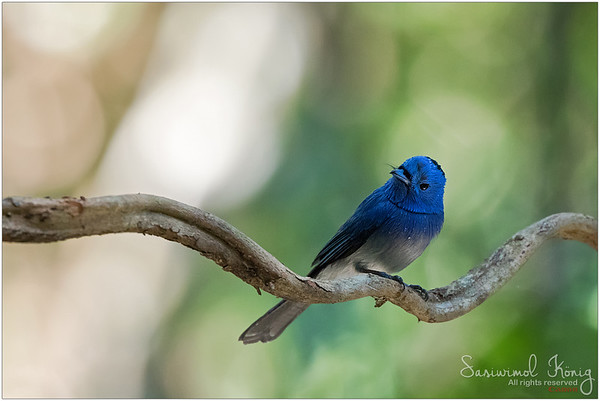 Male Black-naped Monarch