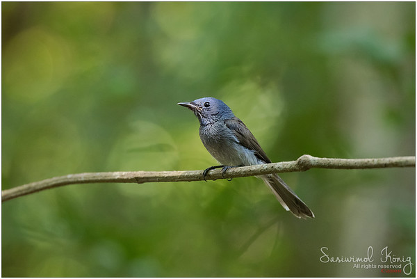 Female Black-naped Monarch