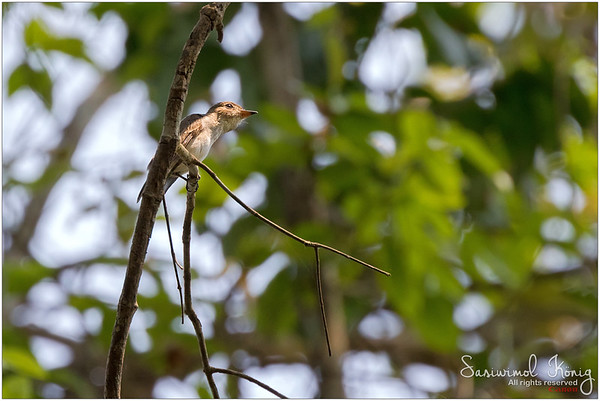 Asian Brown Flycatcher… Looking lonely up there