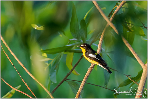 Yellow Rumped Flycatcher