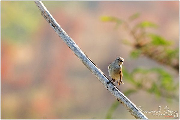 Taiga Flycatcher (isn't it?)