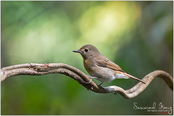 Female flycatcher