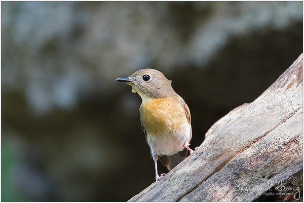 Female Chinese blue flycatcher