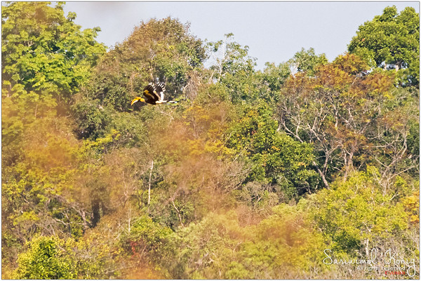 We could spot this Great Hornbill from afar, and I felt so fortunate