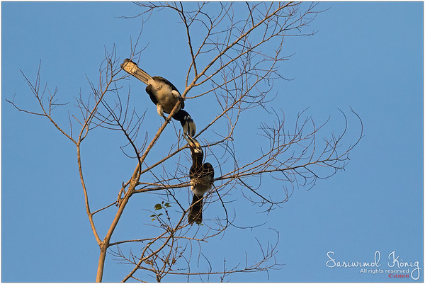 Female and male Oriental pied hornbill