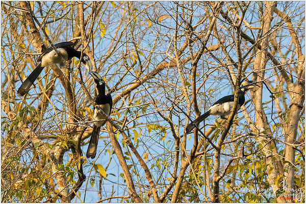 Oriental pied hornbill.. No one likes being a third wheel