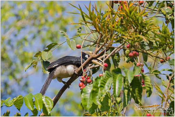 Male Oriental pied hornbill eating Pithraj fruit