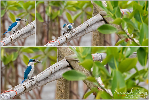 Lunch was found. A white-collared kingfisher pounding crab against the bamboo branch. Result? Dead and swallowed.