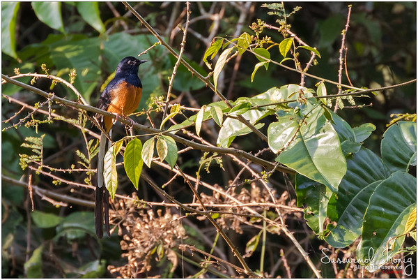 White-rumped shama.. the host!