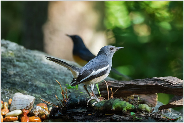 Female Oriental magpie robin in front of White-rumped shama