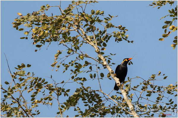 Hill Myna.. getting ready to make a nest
