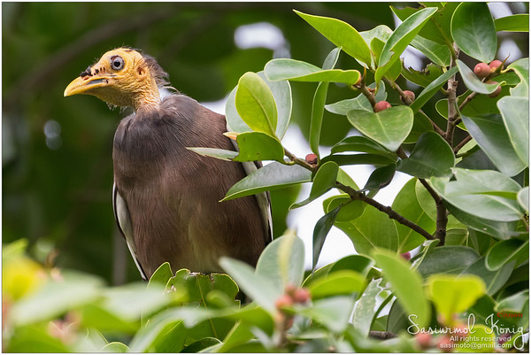 Bald headed Common Myna bird