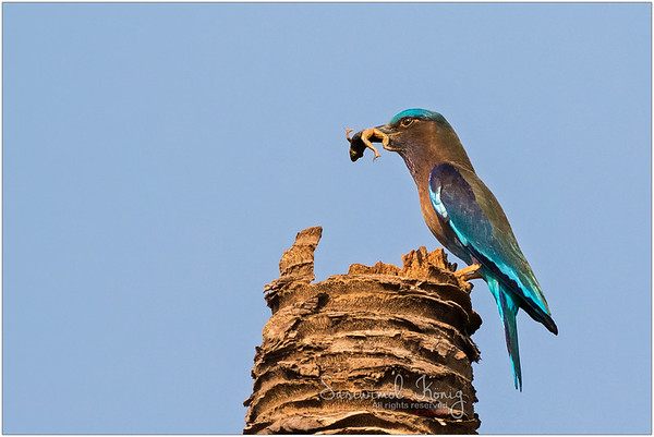 Indian roller with fresh dinner
