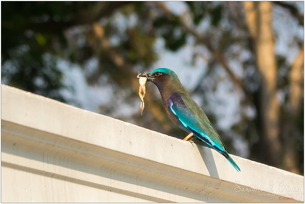 Indian roller with frog