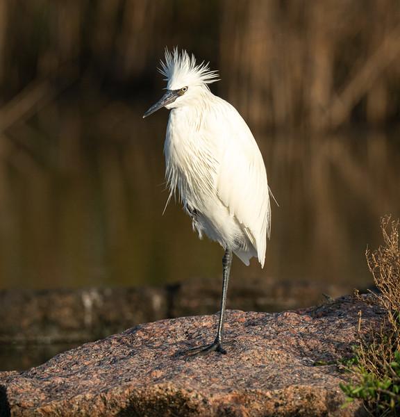 Reddish egret, Egretta rufescens, white morph