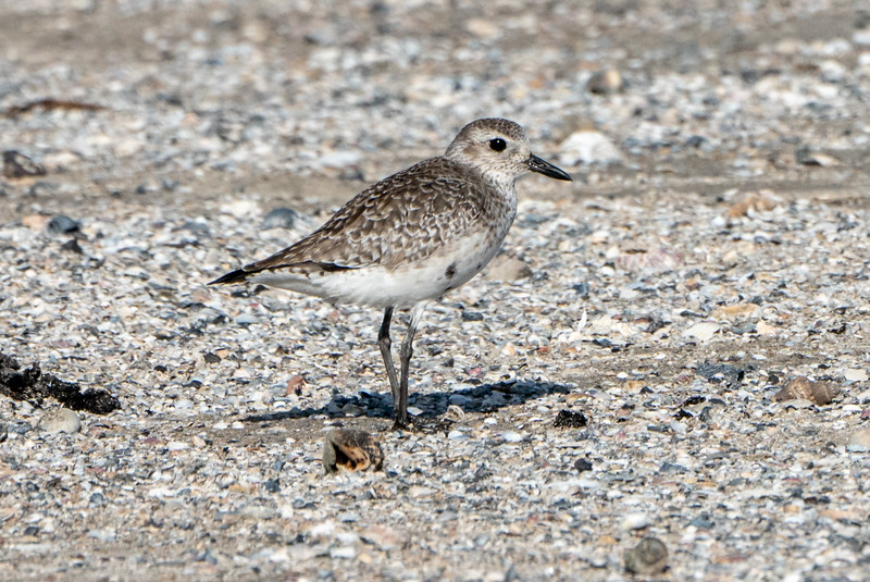 Immature Black-bellied plover