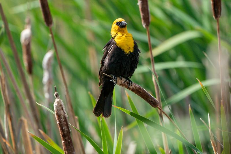 Yellow-headed blackbird, Xanthocephalus xanthocephalus