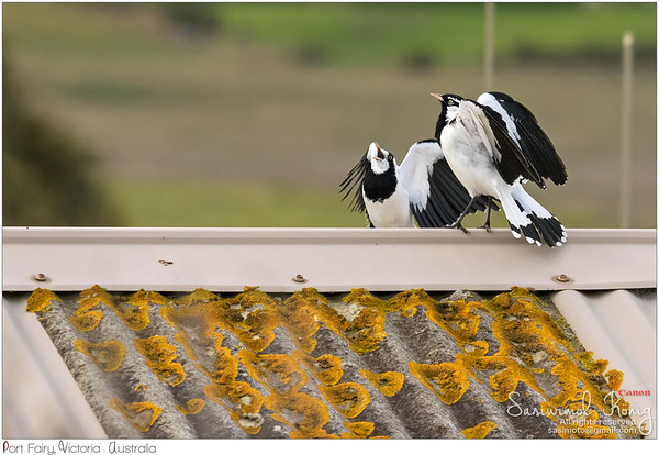 Female and Male Magpie-lark
