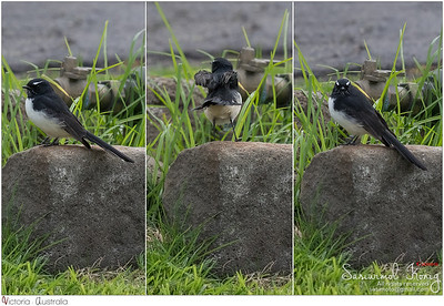 Cute Willie Wagtail