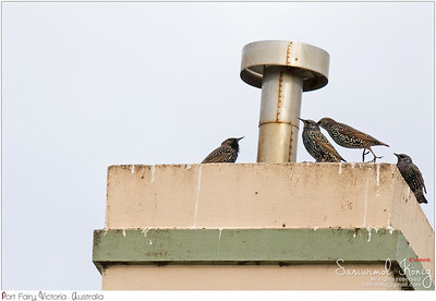 A gang of Common Starling birds