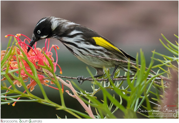 New Holland Honeyeater bird feeding on Grevillea spider flower