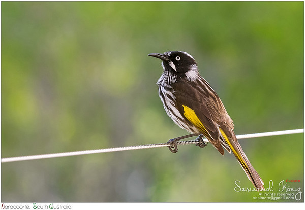 New Holland Honeyeater bird