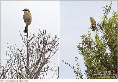 Singing honeyeater And Greenfinch