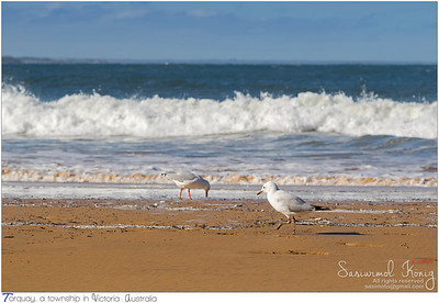 Young Silver Gull walking along the beach in the afternoon
