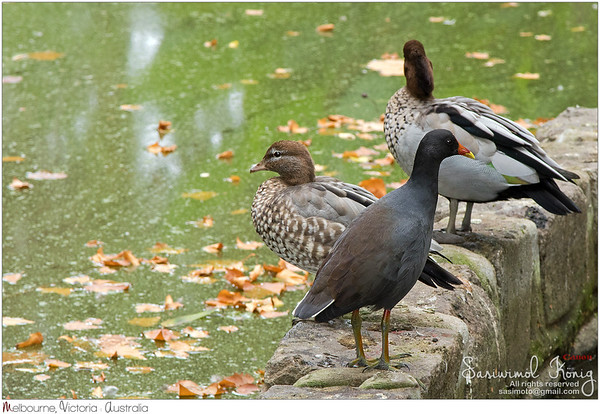 Dusky Moorhen & Australian wood ducks