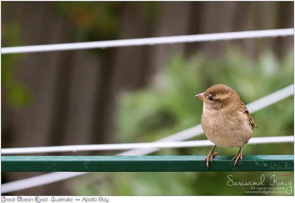 Cute little female House Sparrow