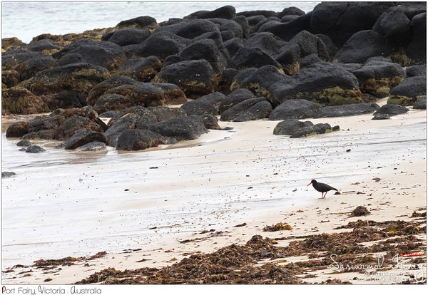 Sooty Oystercatcher on the volcanic beach
