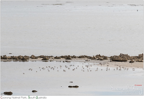 A flock of Red-necked stint birds